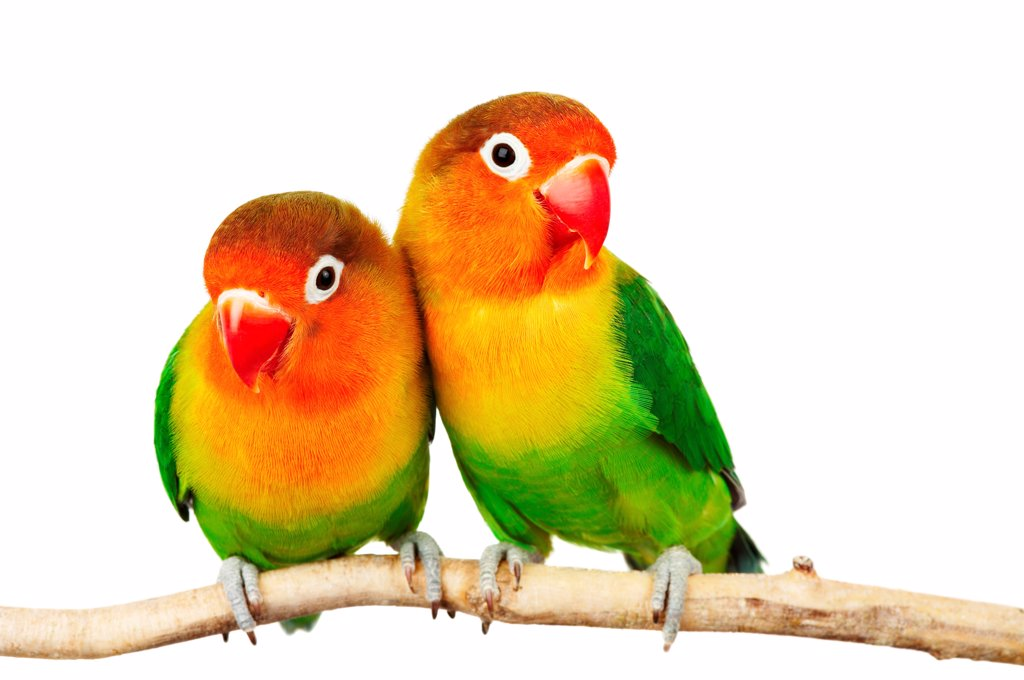 Stock Photo: 1525R-202368 Pair of lovebirds agapornis-fischeri isolated on white