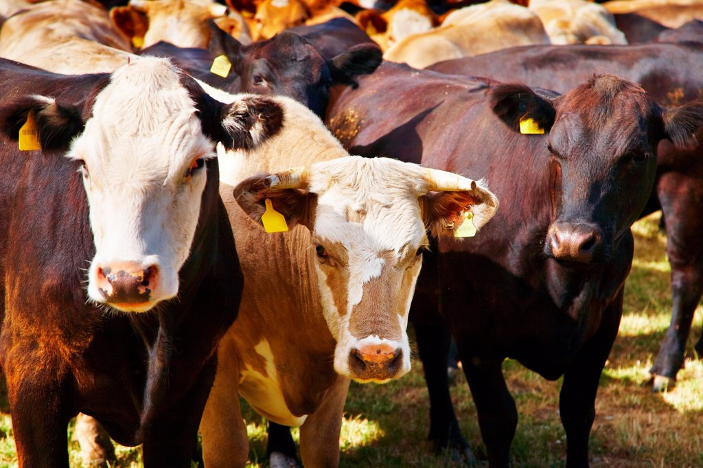 Stock Photo: 1525R-202517 Livestock farm, herd of cows