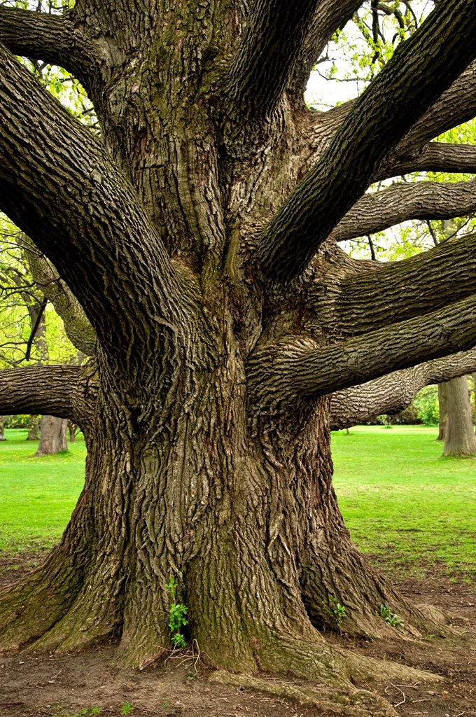 Stock Photo: 1525R-206369 Large oak tree with outreaching branches.