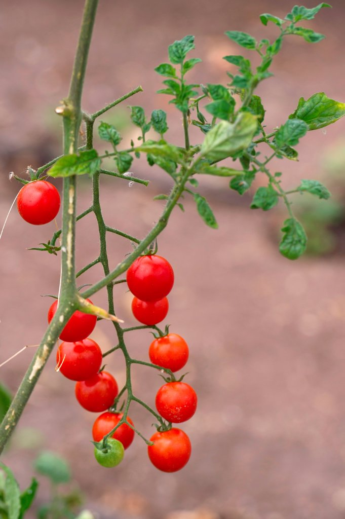 Plant of cherry tomatoes in a garden, Willka Tika, Sacred Valley, Cusco Region, Peru : Stock Photo