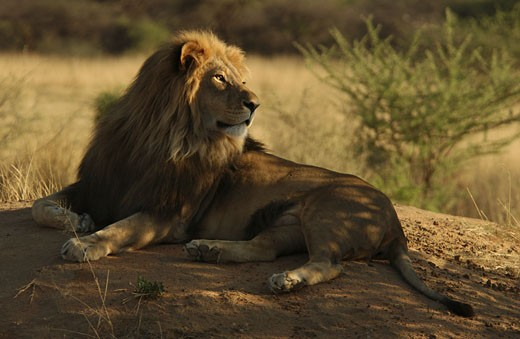 Stock Photo: 1525R-31952 Lions - Namibia, Africa