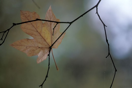 Stock Photo: 1525R-36634 Autumn Leaf