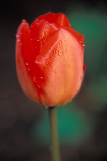 Red Tulip With Dew Drops : Stock Photo