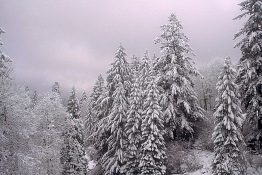 Stock Photo: 1525R-40932 Snow Covered Trees