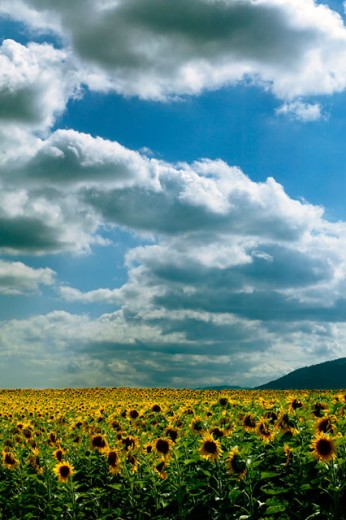 Stock Photo: 1525R-42102 Blue Sky And Clouds Above Acres Of Sunflowers