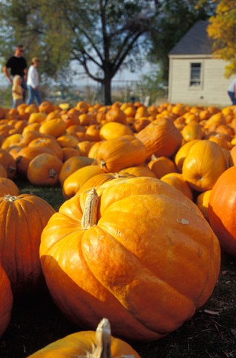 Choosing A Pumpkin From The Patch : Stock Photo