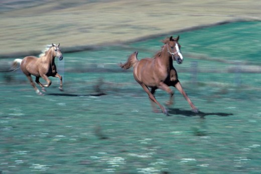 Horses Running in a Field : Stock Photo