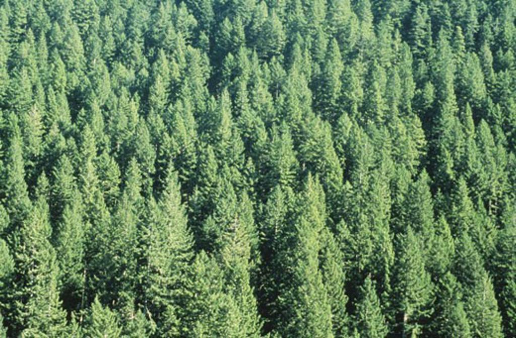 Stock Photo: 1525R-50222 Fir Forest