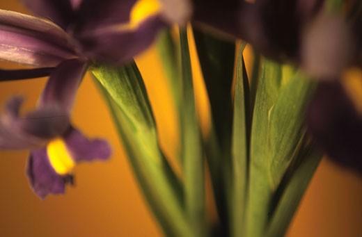 Stems of Iris Plant : Stock Photo