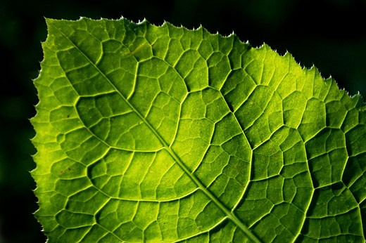 Stock Photo: 1525R-60021 Detailed Green Leaf