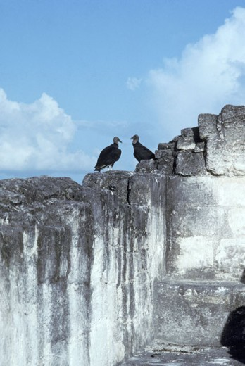 Two Vultures on a Cement Wall : Stock Photo