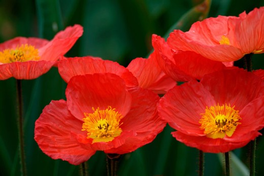 Red Iceland Poppies : Stock Photo