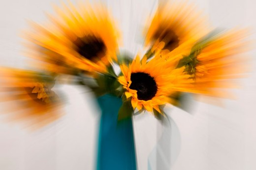 Zooming in on Sunflowers : Stock Photo