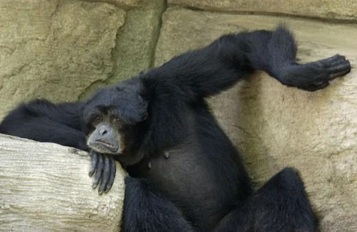 Stock Photo: 1525R-80342 Chimpanzee sitting on a rock