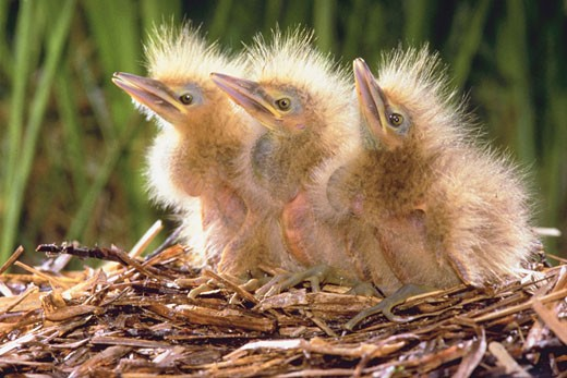 Three young bitterns in a nest : Stock Photo