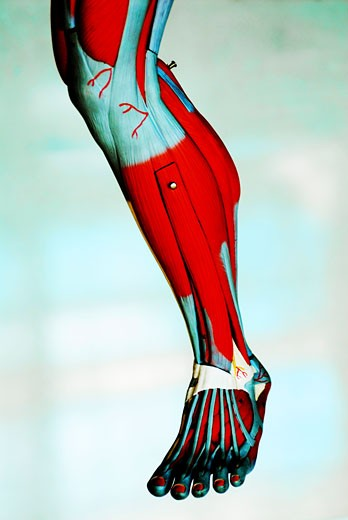 Close-up of the muscles of a leg : Stock Photo