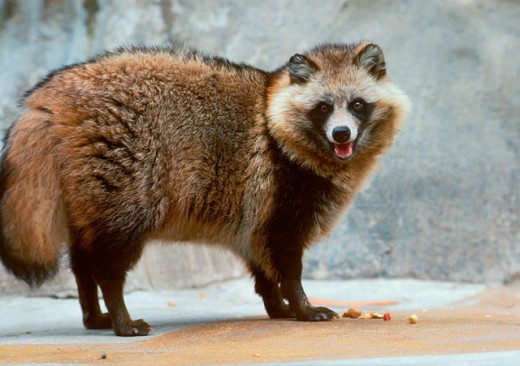 What Does A Raccoon Dog Look Like