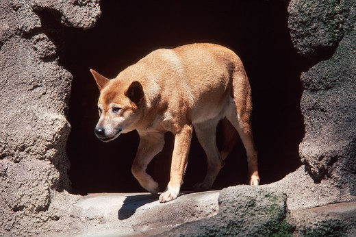 Dingo walking out from a cave (Canis dingo) : Stock Photo