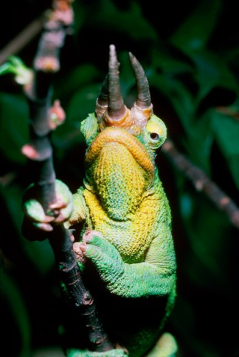 Close-up of a Jackson's Chameleon gripping a branch : Stock Photo