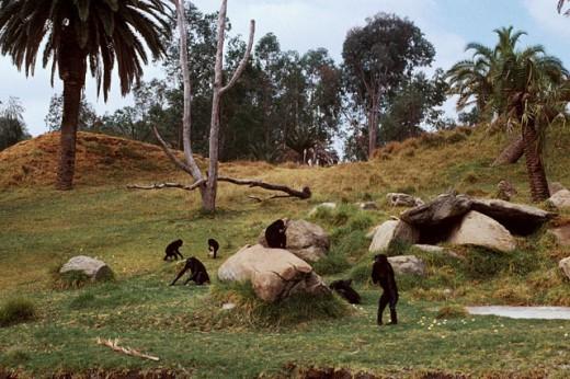 Stock Photo: 1526-3326 Chimpanzees