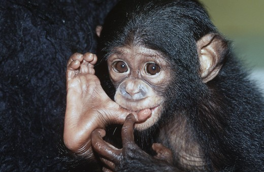 Stock Photo: 1526-3492 Chimpanzee