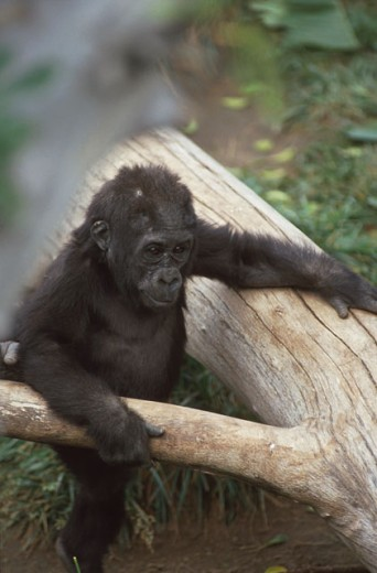 Stock Photo: 1526-3681 Close-up of a baby gorilla