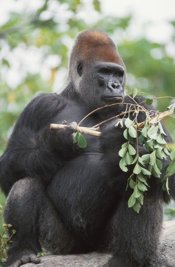 Stock Photo: 1526-3693 Close-up of a gorilla playing with a stick
