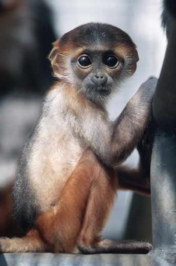 Langur : Stock Photo
