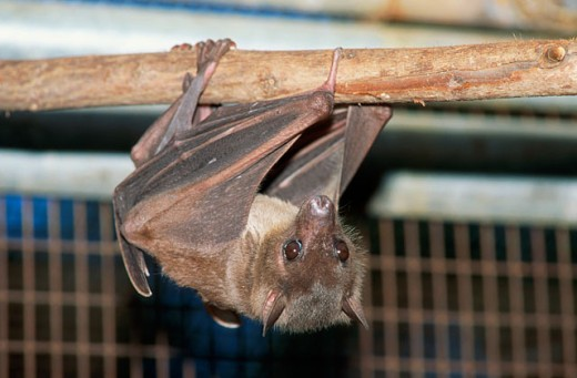 A bat hanging upside down : Stock Photo