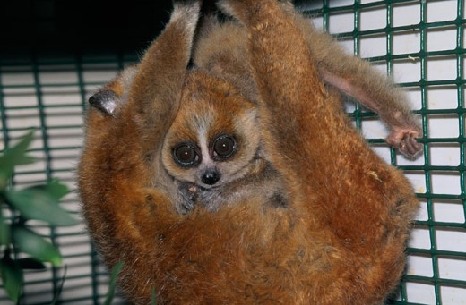 Stock Photo: 1526-3975 Two Loris in a cage