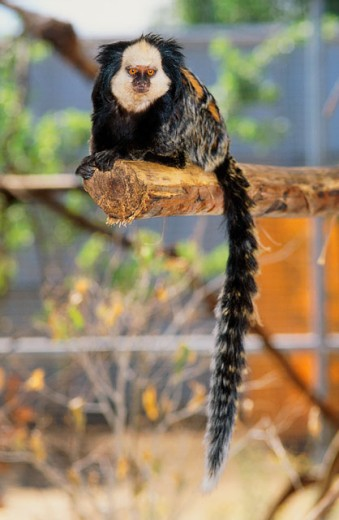 Stock Photo: 1526-4057 Close-up of a marmoset sitting on a log (Callithrix (Callithrix) jacchus)