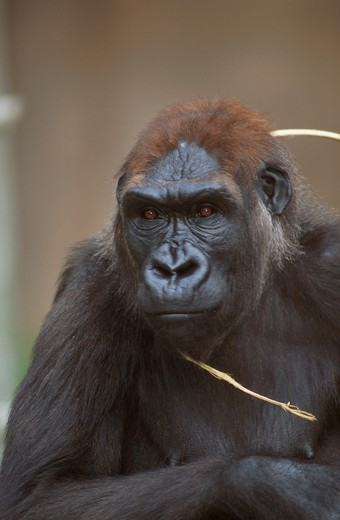 Stock Photo: 1526-4184 Gorilla