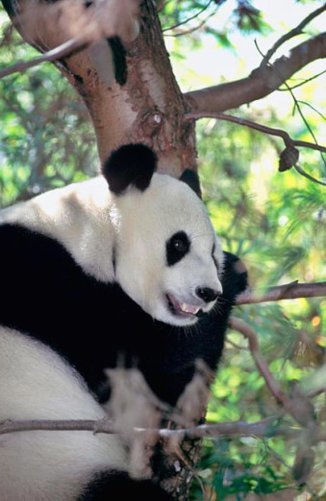 Giant Panda Bai Yun San Diego Zoo San Diego California, USA : Stock Photo