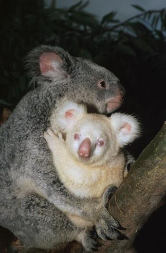 Albino Koala Onya-Birri and Mother Banjeeri San Diego Zoo San Diego California USA : Stock Photo