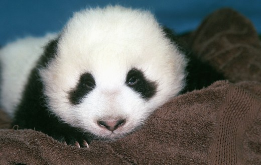 Stock Photo: 1526-4558 Close-up of a baby Giant Panda Hua Mei (9 1/2 Weeks Old), San Diego Zoo, San Diego, California, USA