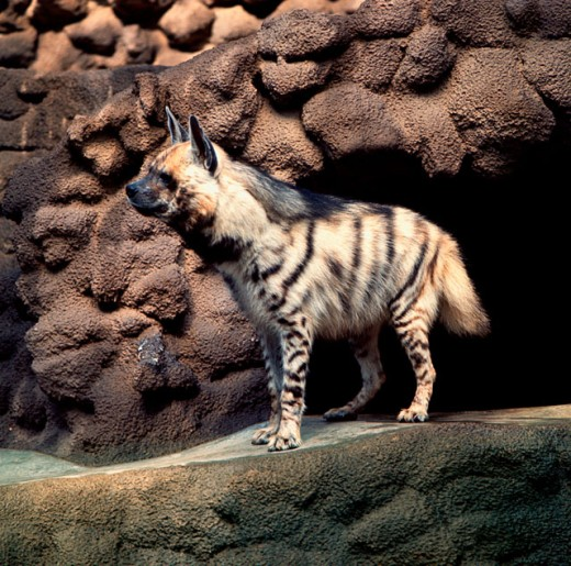A Striped Hyena standing on a rock : Stock Photo