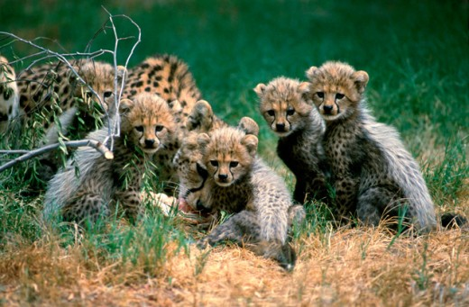 Stock Photo: 1526-59 Cheetah with its five cubs in a field (Acinonyx jubatus)