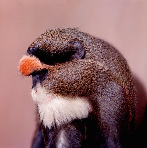 Guenon : Stock Photo