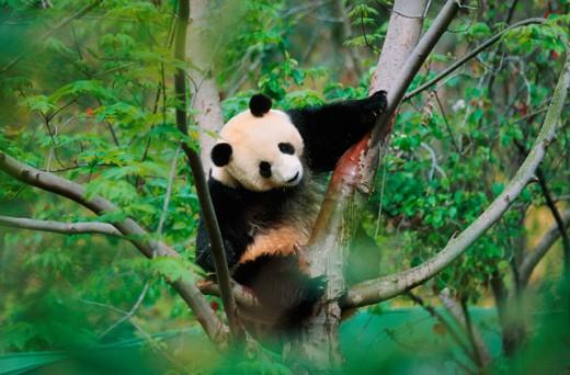 A Giant Panda on a tree : Stock Photo