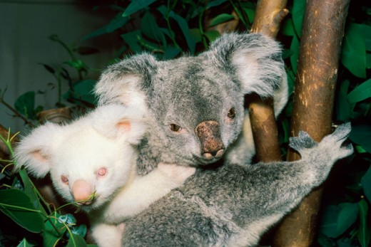 Stock Photo: 1526-920 Close-up of a Koala Bear with its cub clinging to its back (Phascolarctos cinereus)