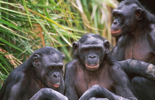 Stock Photo: 1526-96 Close-up of three chimpanzees sitting together