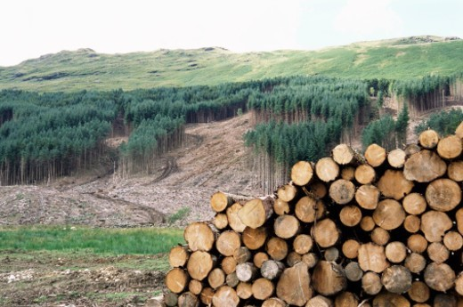 Cleared Area and Pile of Logs, Perthshire, Scotland : Stock Photo