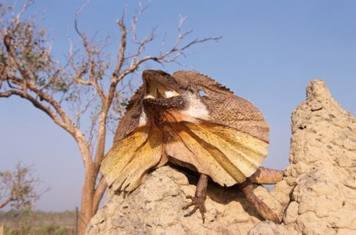 Stock Photo: 1527R-012824 Frilled Lizard, Kakadu National Park, Northern Territory, Australia