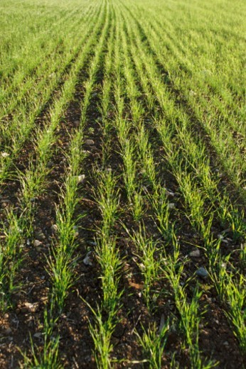 Stock Photo: 1527R-017228 Grass Seedlings Growing in a Field
