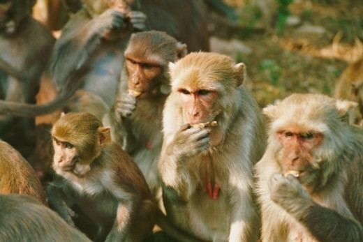 Group of Macaques Eating : Stock Photo