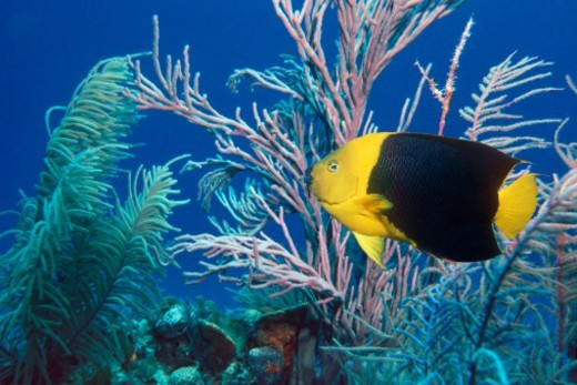 Stock Photo: 1527R-020869 Rock Beauty Angelfish Swimming by Coral