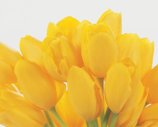 Stock Photo: 1527R-07184 Bunch of Yellow Tulip Flower heads