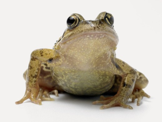 Studio Close-Up of a Common Frog : Stock Photo