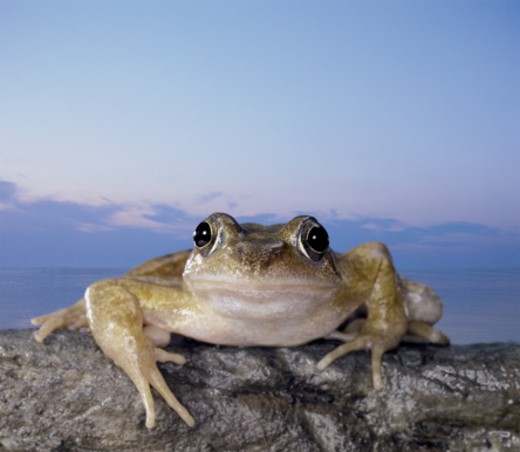 Front View of a Common Frog Crouching on a Rock : Stock Photo