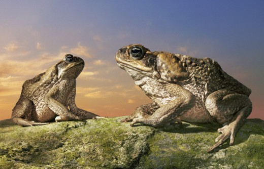 Tow Cane Toads Sitting on a Rock Facing Each Other : Stock Photo